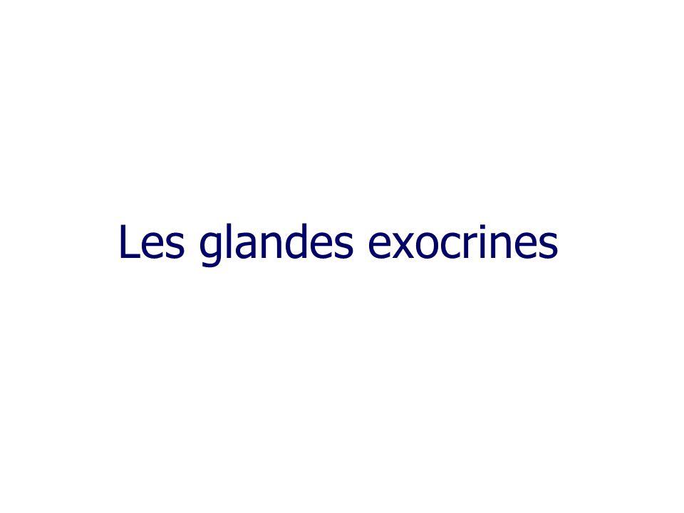 Les glandes exocrines