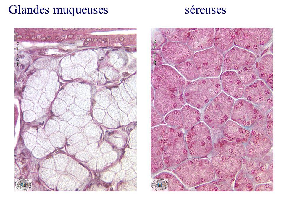 Glandes muqueuses séreuses