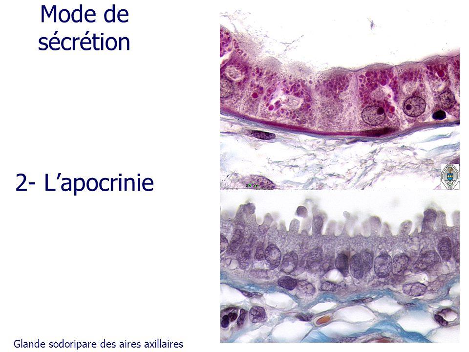 Mode de sécrétion 2- Lapocrinie Glande sodoripare des aires axillaires