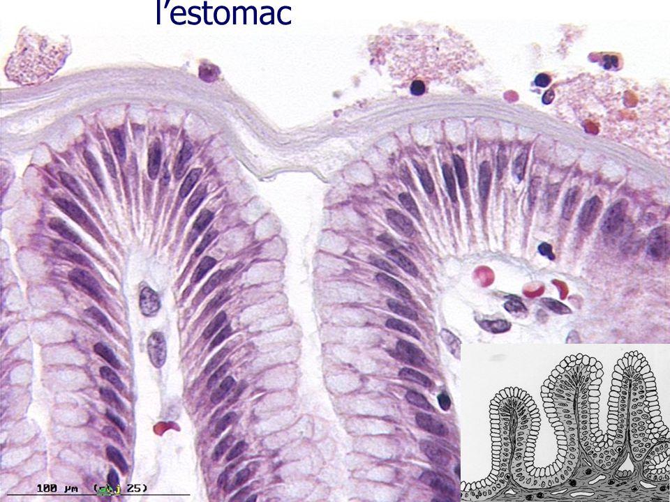 Epithélium sécrétoire : lestomac