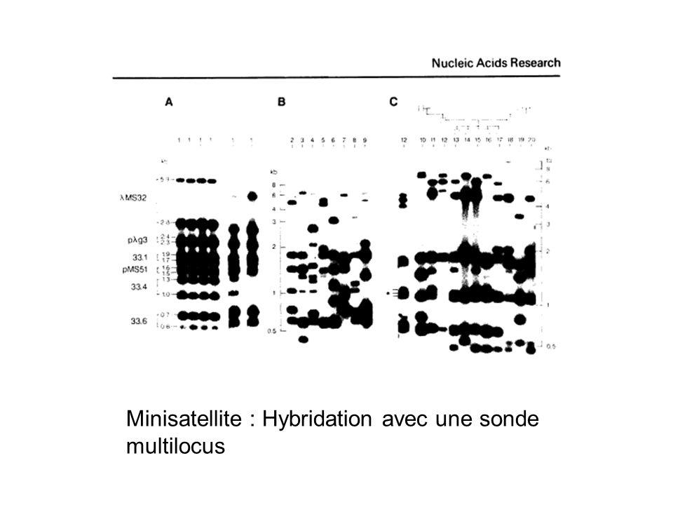 Minisatellite : Hybridation avec une sonde multilocus