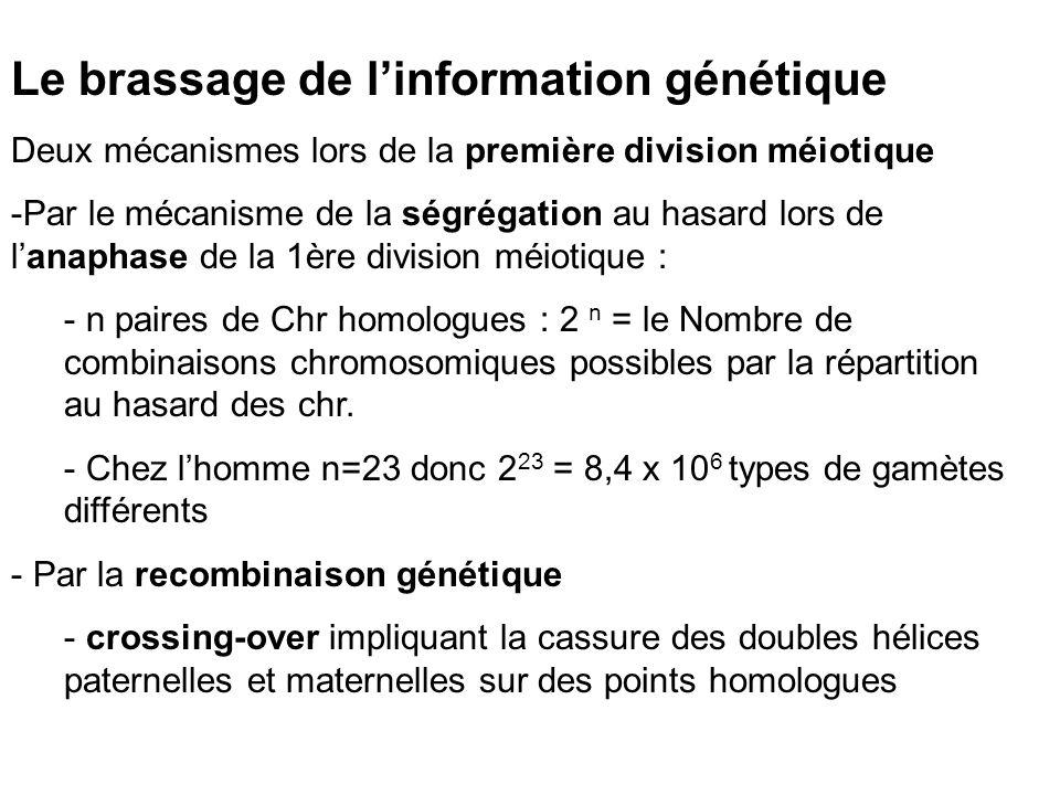 Le brassage de linformation génétique Deux mécanismes lors de la première division méiotique -Par le mécanisme de la ségrégation au hasard lors de lanaphase de la 1ère division méiotique : - n paires de Chr homologues : 2 n = le Nombre de combinaisons chromosomiques possibles par la répartition au hasard des chr.