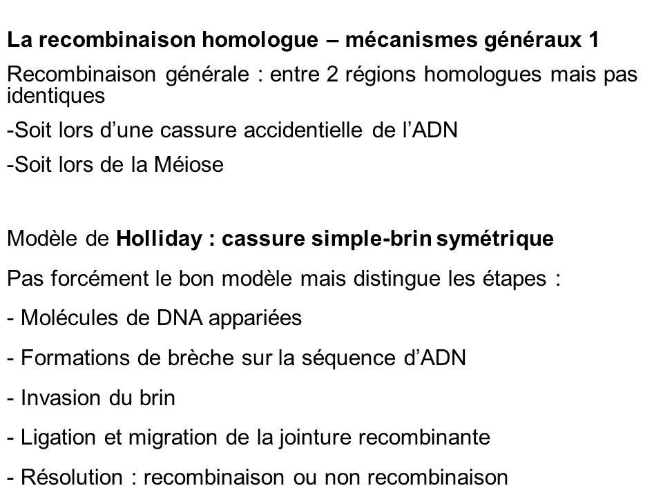 La recombinaison homologue – mécanismes généraux 1 Recombinaison générale : entre 2 régions homologues mais pas identiques -Soit lors dune cassure accidentielle de lADN -Soit lors de la Méiose Modèle de Holliday : cassure simple-brin symétrique Pas forcément le bon modèle mais distingue les étapes : - Molécules de DNA appariées - Formations de brèche sur la séquence dADN - Invasion du brin - Ligation et migration de la jointure recombinante - Résolution : recombinaison ou non recombinaison