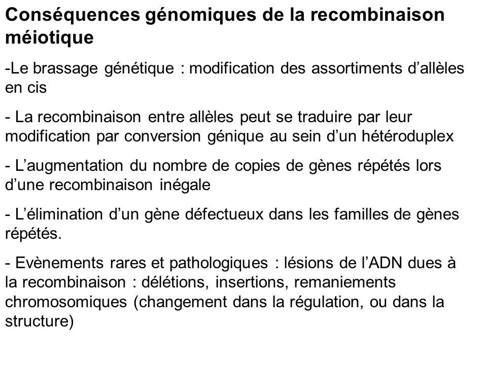 Conséquences génomiques de la recombinaison méiotique -Le brassage génétique : modification des assortiments dallèles en cis - La recombinaison entre allèles peut se traduire par leur modification par conversion génique au sein dun hétéroduplex - Laugmentation du nombre de copies de gènes répétés lors dune recombinaison inégale - Lélimination dun gène défectueux dans les familles de gènes répétés.