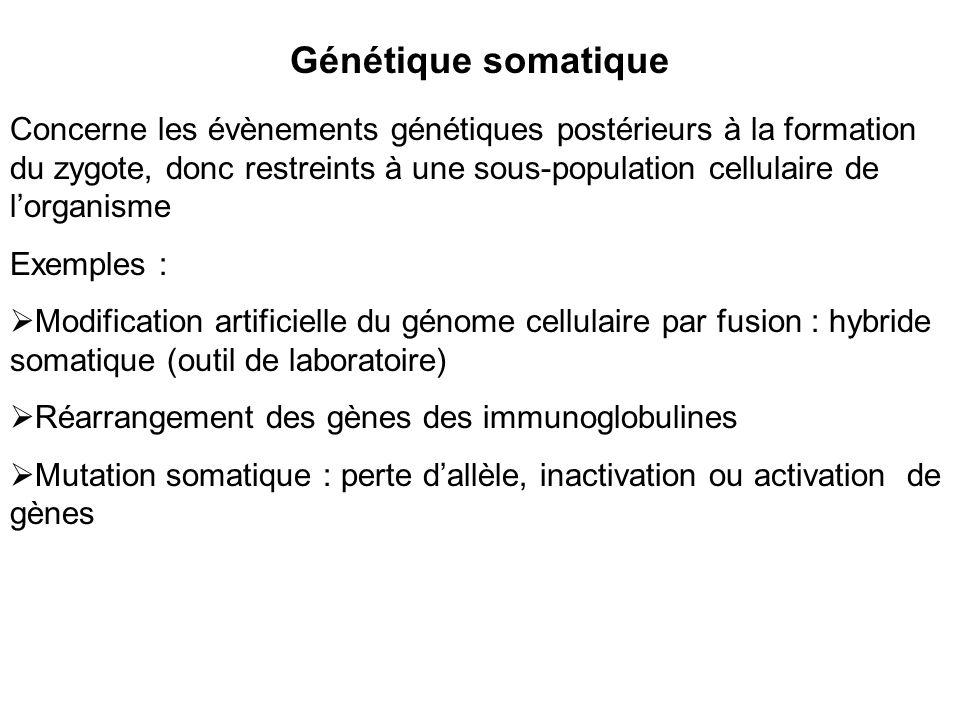Génétique somatique Concerne les évènements génétiques postérieurs à la formation du zygote, donc restreints à une sous-population cellulaire de lorganisme Exemples : Modification artificielle du génome cellulaire par fusion : hybride somatique (outil de laboratoire) Réarrangement des gènes des immunoglobulines Mutation somatique : perte dallèle, inactivation ou activation de gènes