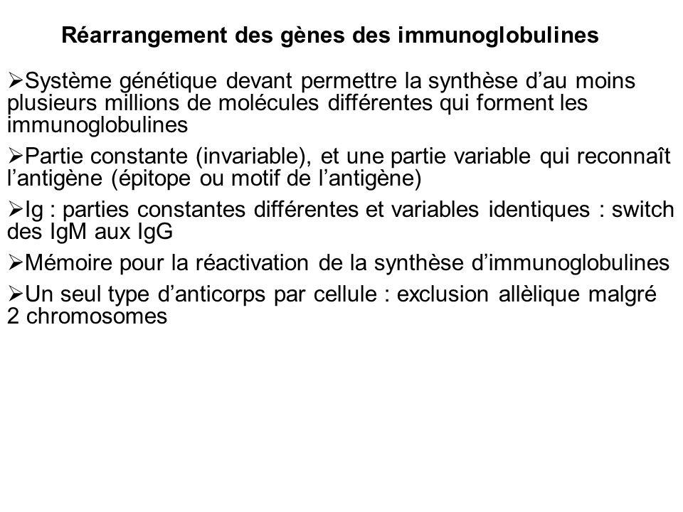 Réarrangement des gènes des immunoglobulines Système génétique devant permettre la synthèse dau moins plusieurs millions de molécules différentes qui forment les immunoglobulines Partie constante (invariable), et une partie variable qui reconnaît lantigène (épitope ou motif de lantigène) Ig : parties constantes différentes et variables identiques : switch des IgM aux IgG Mémoire pour la réactivation de la synthèse dimmunoglobulines Un seul type danticorps par cellule : exclusion allèlique malgré 2 chromosomes