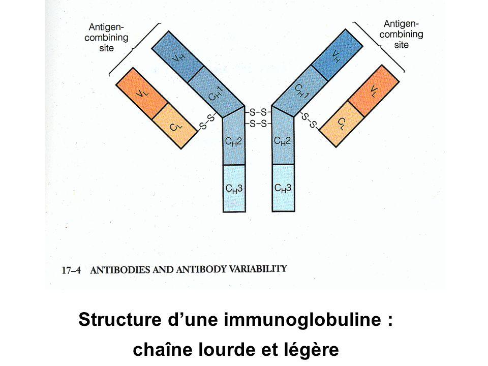 Structure dune immunoglobuline : chaîne lourde et légère