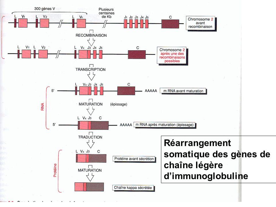 Réarrangement somatique des gènes de chaîne légère dimmunoglobuline