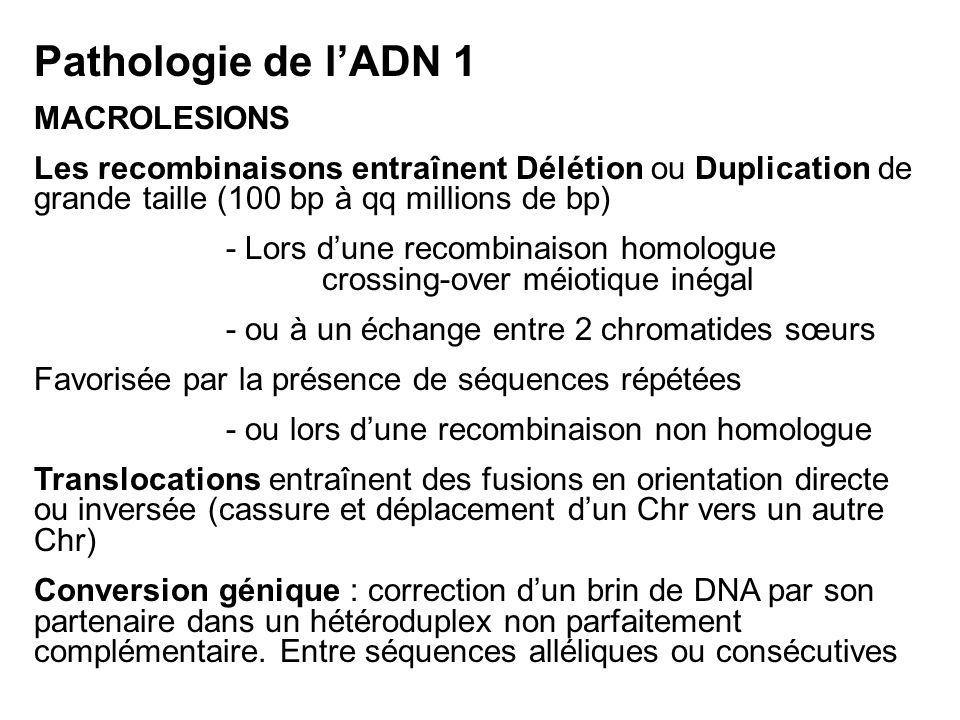 Pathologie de lADN 1 MACROLESIONS Les recombinaisons entraînent Délétion ou Duplication de grande taille (100 bp à qq millions de bp) - Lors dune recombinaison homologue crossing-over méiotique inégal - ou à un échange entre 2 chromatides sœurs Favorisée par la présence de séquences répétées - ou lors dune recombinaison non homologue Translocations entraînent des fusions en orientation directe ou inversée (cassure et déplacement dun Chr vers un autre Chr) Conversion génique : correction dun brin de DNA par son partenaire dans un hétéroduplex non parfaitement complémentaire.