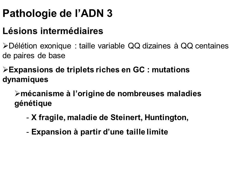 Pathologie de lADN 3 Lésions intermédiaires Délétion exonique : taille variable QQ dizaines à QQ centaines de paires de base Expansions de triplets riches en GC : mutations dynamiques mécanisme à lorigine de nombreuses maladies génétique - X fragile, maladie de Steinert, Huntington, - Expansion à partir dune taille limite