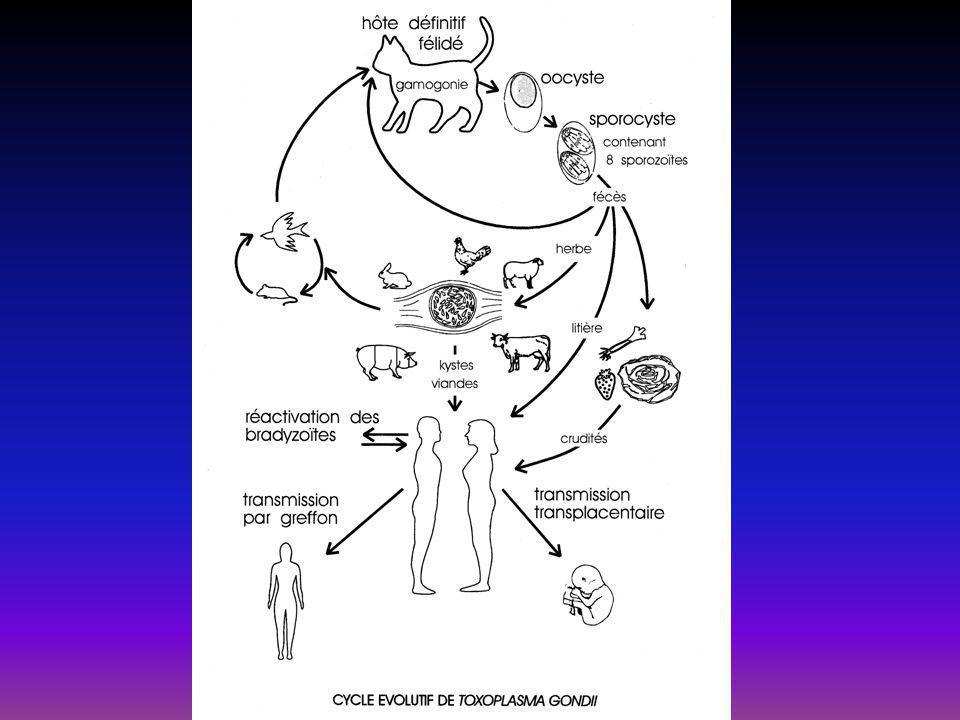 Oocystes n cycle de reproduction sexué : hôte définitif : les félidés n le chaton rejette dans son environnement plus de 10 millions doocystes/j durant une quinzaine de jours n température, hygrométrie et doxygénation oocystes infestants en 2 à 5 jours 1 an.