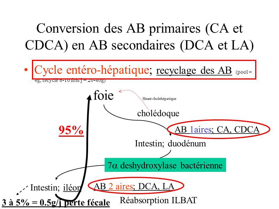 Conversion des AB primaires (CA et CDCA) en AB secondaires (DCA et LA) Cycle entéro-hépatique; recyclage des AB (pool = 4g; recyclé 6-10 fois/j = 20-4