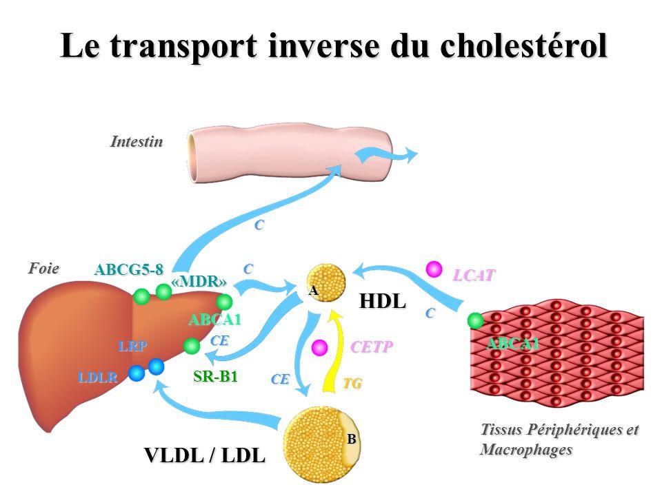 LEfflux Cellulaire du Cholestérol CholestérolCholestérol ABCA1 A1 HDL ATP ATP Le transporteur ABCA1 hydrolyse lATP pour faire basculer le cholestérol vers lextérieur de la cellule 2261aa Transcription activée par LXR (oxystérols) et RXR (ac rétinoïque)