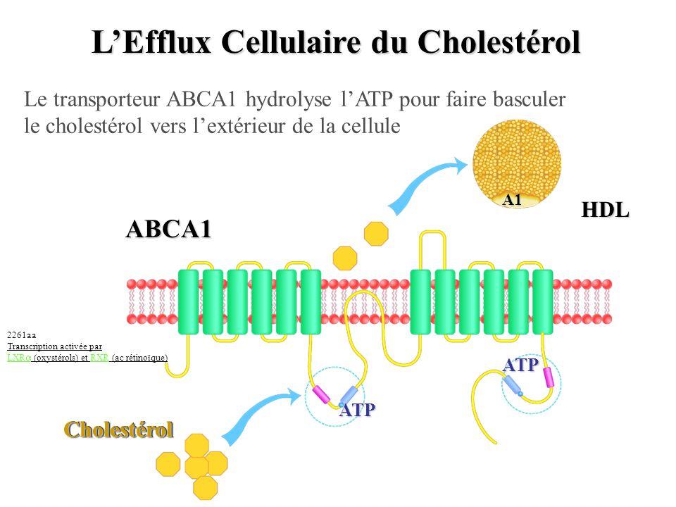 LEfflux Cellulaire du Cholestérol CholestérolCholestérol ABCA1 A1 HDL ATP ATP Le transporteur ABCA1 hydrolyse lATP pour faire basculer le cholestérol