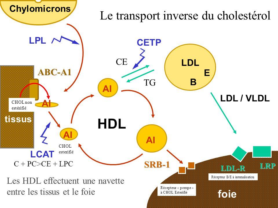 foie tissus LDL / VLDL LCAT CETP AI SRB-1 HDL LDL-R LRP ABC-A1 E B Le transport inverse du cholestérol Les HDL effectuent une navette entre les tissus