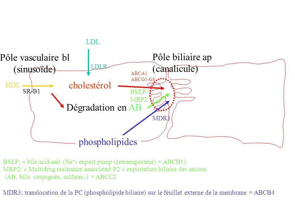 Pôle biliaire ap (canalicule) Pôle vasculaire bl (sinusoïde) Dégradation en AB cholestérol phospholipides ABCA1 ABCG5-G8 BSEP + MRP2 MDR3 SR-B1 HDL LD