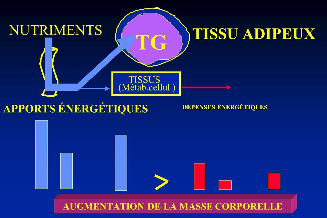 TISSU ADIPEUX TISSUS NUTRIMENTS APPORTS ÉNERGÉTIQUES TG BILAN ÉNERGÉTIQUE MASSE CORPORELLE STABLE (Métab.cellul.) DÉPENSES ÉNERGÉTIQUES