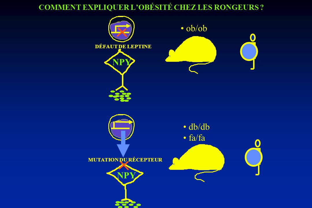 FACTEUR(S) CIRCULANT(S) ET ORIGINE ? 1 -FACTEUR(S) CIRCULANT(S) db/db Tém. Parabiose ob/ob Tém. (1978) Expression adipocytaire LEPTINE Clonage du gène