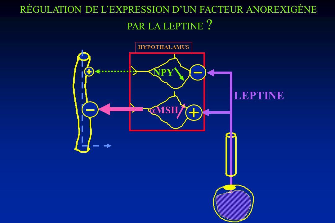RÉGULATION DE LEXPRESSION DUN FACTEUR OREXIGÈNE PAR LA LEPTINE HYPOTHALAMUS NPY LEPTINE NPY ob/ob