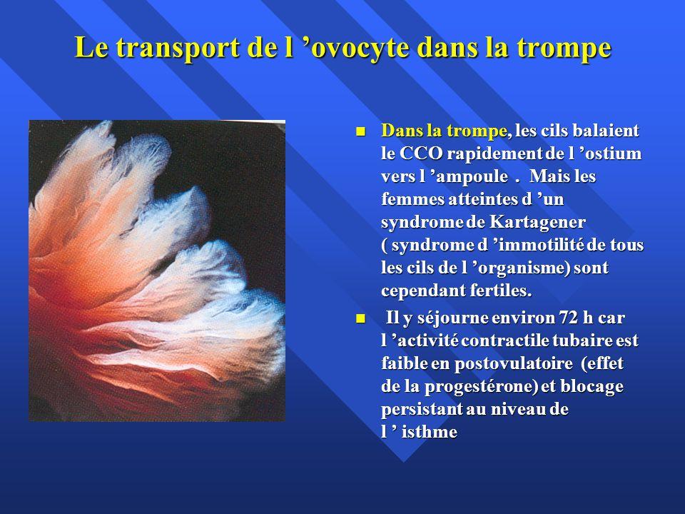 Le transport de l ovocyte dans la trompe Dans la trompe, les cils balaient le CCO rapidement de l ostium vers l ampoule. Mais les femmes atteintes d u