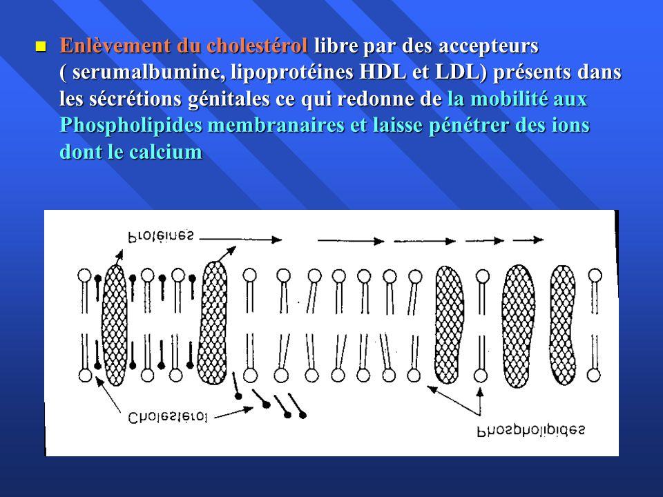 Enlèvement du cholestérol libre par des accepteurs ( serumalbumine, lipoprotéines HDL et LDL) présents dans les sécrétions génitales ce qui redonne de