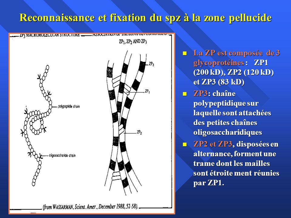 Reconnaissance et fixation du spz à la zone pellucide La ZP est composée de 3 glycoprotéines : ZP1 (200 kD), ZP2 (120 kD) et ZP3 (83 kD) La ZP est com