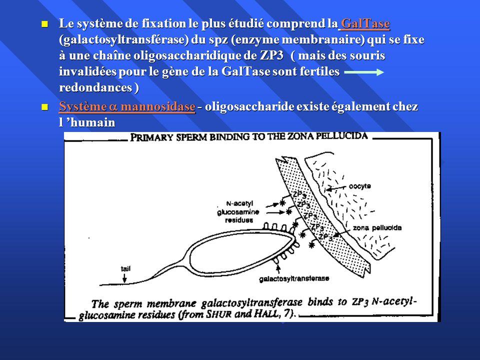 Le système de fixation le plus étudié comprend la GalTase (galactosyltransférase) du spz (enzyme membranaire) qui se fixe à une chaîne oligosaccharidi