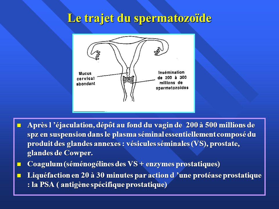 Le trajet du spermatozoïde En période préovulatoire, l orifice externe du col laisse sourdre un mucus abondant et fluide ( glaire) avec lequel les spz mobiles entrent en contact puis pénètrent le canal cervical en nageant à contre- courant En période préovulatoire, l orifice externe du col laisse sourdre un mucus abondant et fluide ( glaire) avec lequel les spz mobiles entrent en contact puis pénètrent le canal cervical en nageant à contre- courant Test post-coïtal de Hühner.