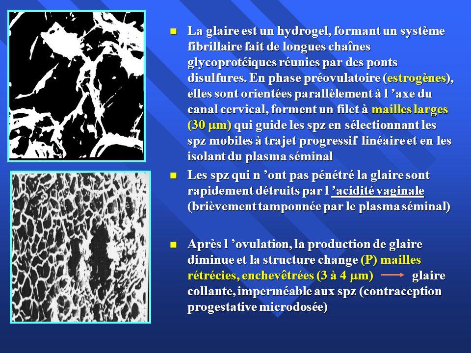 La migration des spz dans les voies génitales femelles 1% des spz migrent à travers le col utérin ( 3 M) 1% des spz migrent à travers le col utérin ( 3 M) Phase initiale rapide: présents dans les minutes qui suivent le coït dans l utérus ( mobilité propre, cellules ciliées de l endomètre, contractilité); colonisation des cryptes; libération II Phase initiale rapide: présents dans les minutes qui suivent le coït dans l utérus ( mobilité propre, cellules ciliées de l endomètre, contractilité); colonisation des cryptes; libération II Sphincter utérotubaire règle leur pénétration dans la trompe (quelques centaines), 30 minutes après le coït.