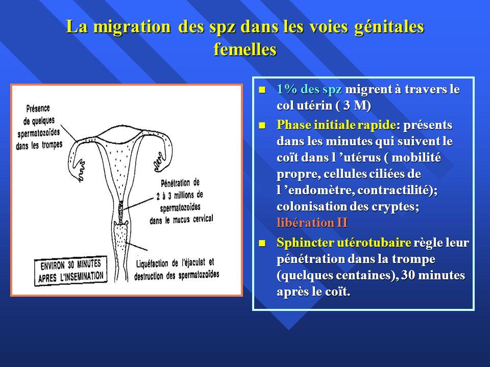 La migration des spz dans les voies génitales femelles 1% des spz migrent à travers le col utérin ( 3 M) 1% des spz migrent à travers le col utérin (