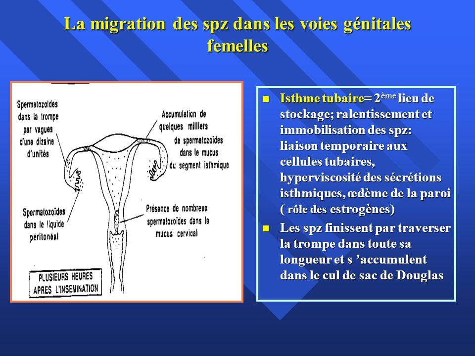 La migration des spz dans les voies génitales femelles Isthme tubaire= 2 ème lieu de stockage; ralentissement et immobilisation des spz: liaison tempo