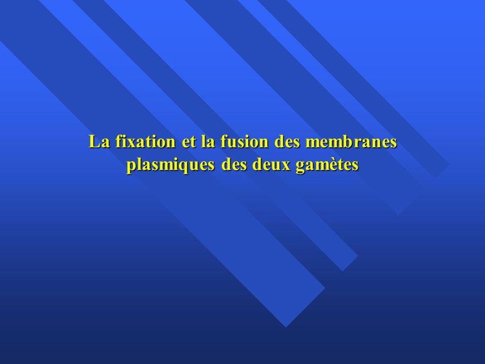 La fixation et la fusion des membranes plasmiques des deux gamètes