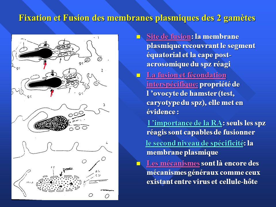 Fixation et Fusion des membranes plasmiques des 2 gamètes Site de fusion: la membrane plasmique recouvrant le segment équatorial et la cape post- acrosomique du spz réagi Site de fusion: la membrane plasmique recouvrant le segment équatorial et la cape post- acrosomique du spz réagi La fusion et fécondation interspécifique: propriété de l ovocyte de hamster (test, caryotype du spz), elle met en évidence : La fusion et fécondation interspécifique: propriété de l ovocyte de hamster (test, caryotype du spz), elle met en évidence : l importance de la RA: seuls les spz réagis sont capables de fusionner l importance de la RA: seuls les spz réagis sont capables de fusionner le second niveau de spécificité: la membrane plasmique le second niveau de spécificité: la membrane plasmique Les mécanismes sont là encore des mécanismes généraux comme ceux existant entre virus et cellule-hôte Les mécanismes sont là encore des mécanismes généraux comme ceux existant entre virus et cellule-hôte