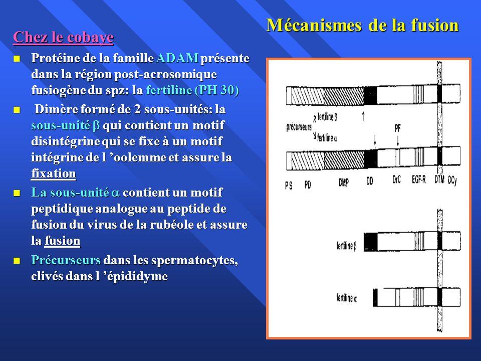 Mécanismes de la fusion Chez le cobaye Protéine de la famille ADAM présente dans la région post-acrosomique fusiogène du spz: la fertiline (PH 30) Protéine de la famille ADAM présente dans la région post-acrosomique fusiogène du spz: la fertiline (PH 30) Dimère formé de 2 sous-unités: la sous-unité qui contient un motif disintégrine qui se fixe à un motif intégrine de l oolemme et assure la fixation Dimère formé de 2 sous-unités: la sous-unité qui contient un motif disintégrine qui se fixe à un motif intégrine de l oolemme et assure la fixation La sous-unité contient un motif peptidique analogue au peptide de fusion du virus de la rubéole et assure la fusion La sous-unité contient un motif peptidique analogue au peptide de fusion du virus de la rubéole et assure la fusion Précurseurs dans les spermatocytes, clivés dans l épididyme Précurseurs dans les spermatocytes, clivés dans l épididyme