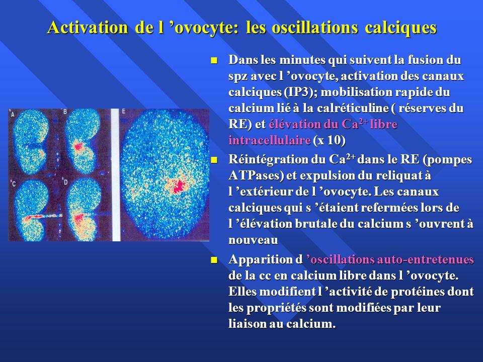 Activation de l ovocyte: les oscillations calciques Dans les minutes qui suivent la fusion du spz avec l ovocyte, activation des canaux calciques (IP3); mobilisation rapide du calcium lié à la calréticuline ( réserves du RE) et élévation du Ca 2+ libre intracellulaire (x 10) Dans les minutes qui suivent la fusion du spz avec l ovocyte, activation des canaux calciques (IP3); mobilisation rapide du calcium lié à la calréticuline ( réserves du RE) et élévation du Ca 2+ libre intracellulaire (x 10) Réintégration du Ca 2+ dans le RE (pompes ATPases) et expulsion du reliquat à l extérieur de l ovocyte.
