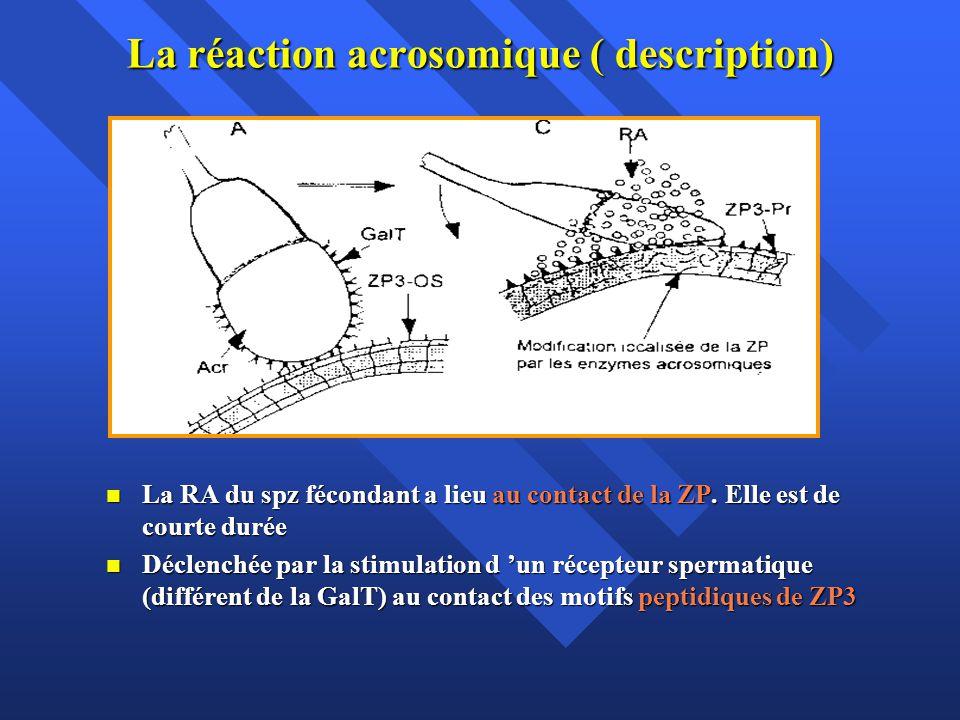 La réaction acrosomique ( description) La RA du spz fécondant a lieu au contact de la ZP.