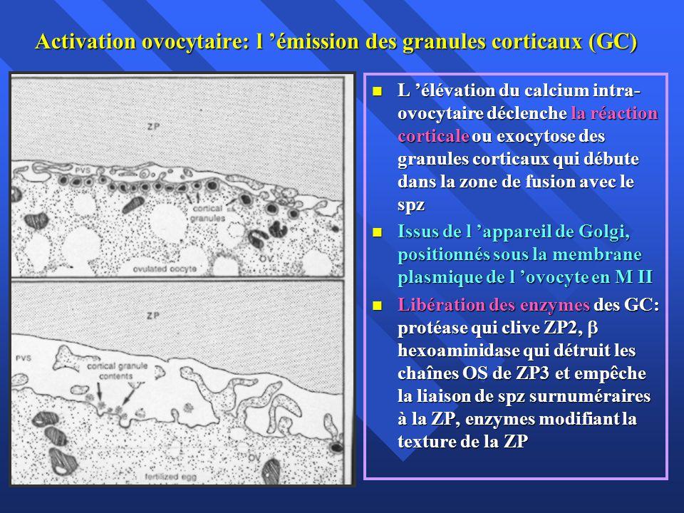 Activation ovocytaire: l émission des granules corticaux (GC) L élévation du calcium intra- ovocytaire déclenche la réaction corticale ou exocytose des granules corticaux qui débute dans la zone de fusion avec le spz L élévation du calcium intra- ovocytaire déclenche la réaction corticale ou exocytose des granules corticaux qui débute dans la zone de fusion avec le spz Issus de l appareil de Golgi, positionnés sous la membrane plasmique de l ovocyte en M II Issus de l appareil de Golgi, positionnés sous la membrane plasmique de l ovocyte en M II Libération des enzymes des GC: protéase qui clive ZP2, hexoaminidase qui détruit les chaînes OS de ZP3 et empêche la liaison de spz surnuméraires à la ZP, enzymes modifiant la texture de la ZP Libération des enzymes des GC: protéase qui clive ZP2, hexoaminidase qui détruit les chaînes OS de ZP3 et empêche la liaison de spz surnuméraires à la ZP, enzymes modifiant la texture de la ZP