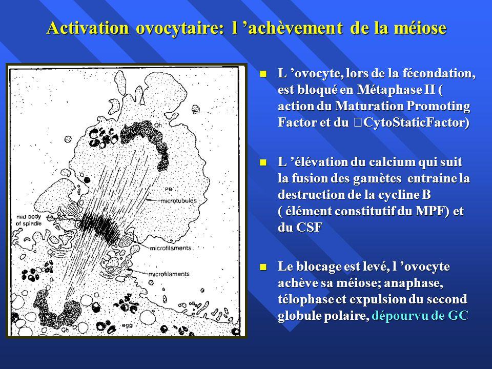 Activation ovocytaire: l achèvement de la méiose L ovocyte, lors de la fécondation, est bloqué en Métaphase II ( action du Maturation Promoting Factor et du CytoStaticFactor) L ovocyte, lors de la fécondation, est bloqué en Métaphase II ( action du Maturation Promoting Factor et du CytoStaticFactor) L élévation du calcium qui suit la fusion des gamètes entraine la destruction de la cycline B ( élément constitutif du MPF) et du CSF L élévation du calcium qui suit la fusion des gamètes entraine la destruction de la cycline B ( élément constitutif du MPF) et du CSF Le blocage est levé, l ovocyte achève sa méiose; anaphase, télophase et expulsion du second globule polaire, dépourvu de GC Le blocage est levé, l ovocyte achève sa méiose; anaphase, télophase et expulsion du second globule polaire, dépourvu de GC