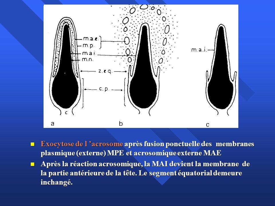 Exocytose de l acrosome après fusion ponctuelle des membranes plasmique (externe) MPE et acrosomique externe MAE Exocytose de l acrosome après fusion ponctuelle des membranes plasmique (externe) MPE et acrosomique externe MAE Après la réaction acrosomique, la MAI devient la membrane de la partie antérieure de la tête.