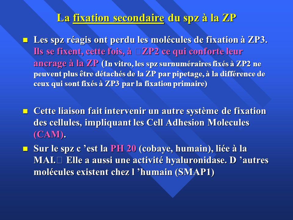La fixation secondaire du spz à la ZP Les spz réagis ont perdu les molécules de fixation à ZP3.