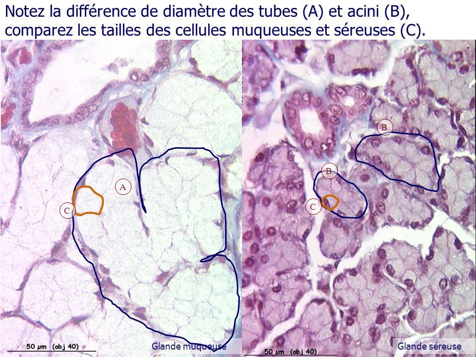 Glande muqueuseGlande séreuse A B Notez la différence de diamètre des tubes (A) et acini (B), comparez les tailles des cellules muqueuses et séreuses (C).