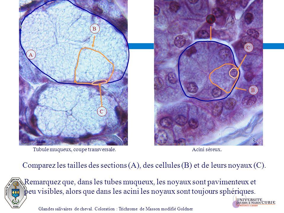 Tubule muqueux, coupe transversale.Acini séreux. Comparez les tailles des sections (A), des cellules (B) et de leurs noyaux (C). Remarquez que, dans l