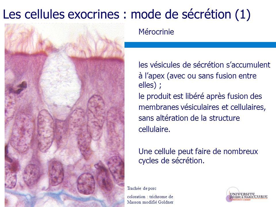 Les cellules exocrines : mode de sécrétion (1) Mérocrinie les vésicules de sécrétion saccumulent à lapex (avec ou sans fusion entre elles) ; le produit est libéré après fusion des membranes vésiculaires et cellulaires, sans altération de la structure cellulaire.
