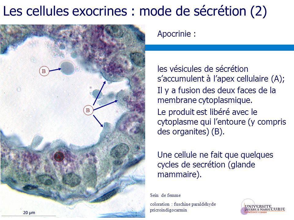 Apocrinie : les vésicules de sécrétion saccumulent à lapex cellulaire (A); Il y a fusion des deux faces de la membrane cytoplasmique. Le produit est l