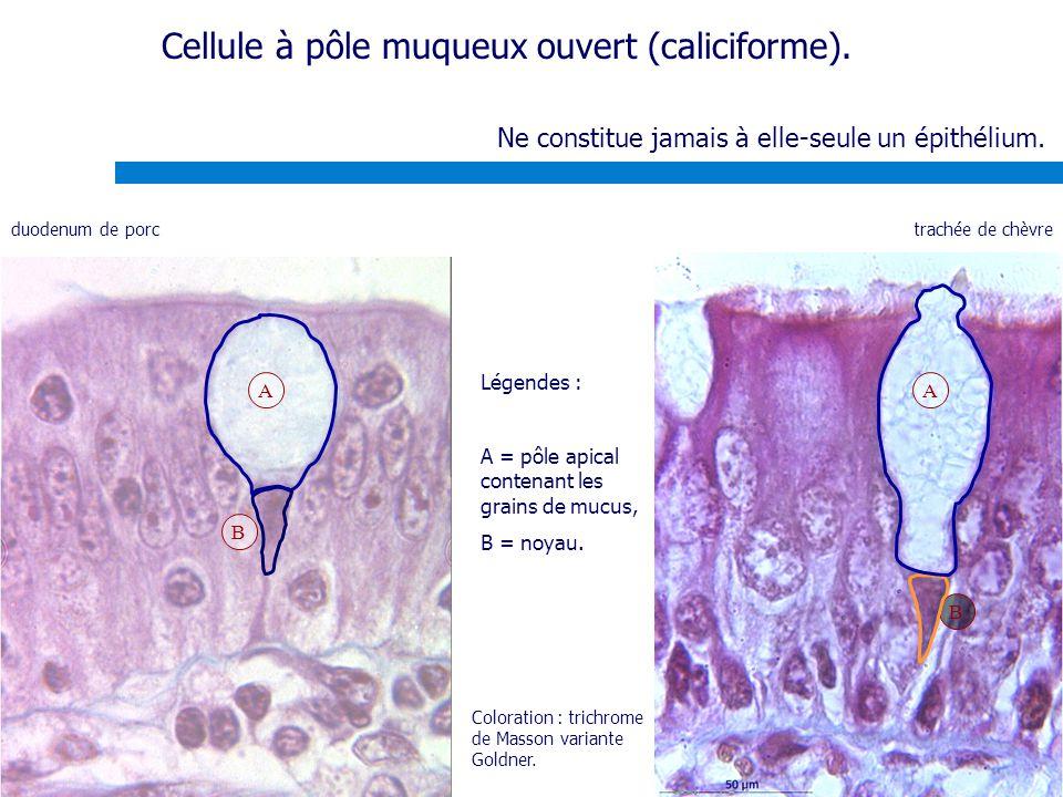 Ne constitue jamais à elle-seule un épithélium. A B Légendes : A = pôle apical contenant les grains de mucus, B = noyau. Cellule à pôle muqueux ouvert