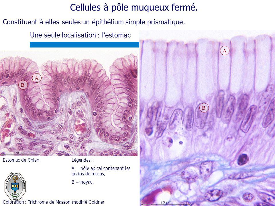 Cellules à pôle muqueux fermé. Une seule localisation : lestomac Légendes : A = pôle apical contenant les grains de mucus, B = noyau. A B B A Colorati