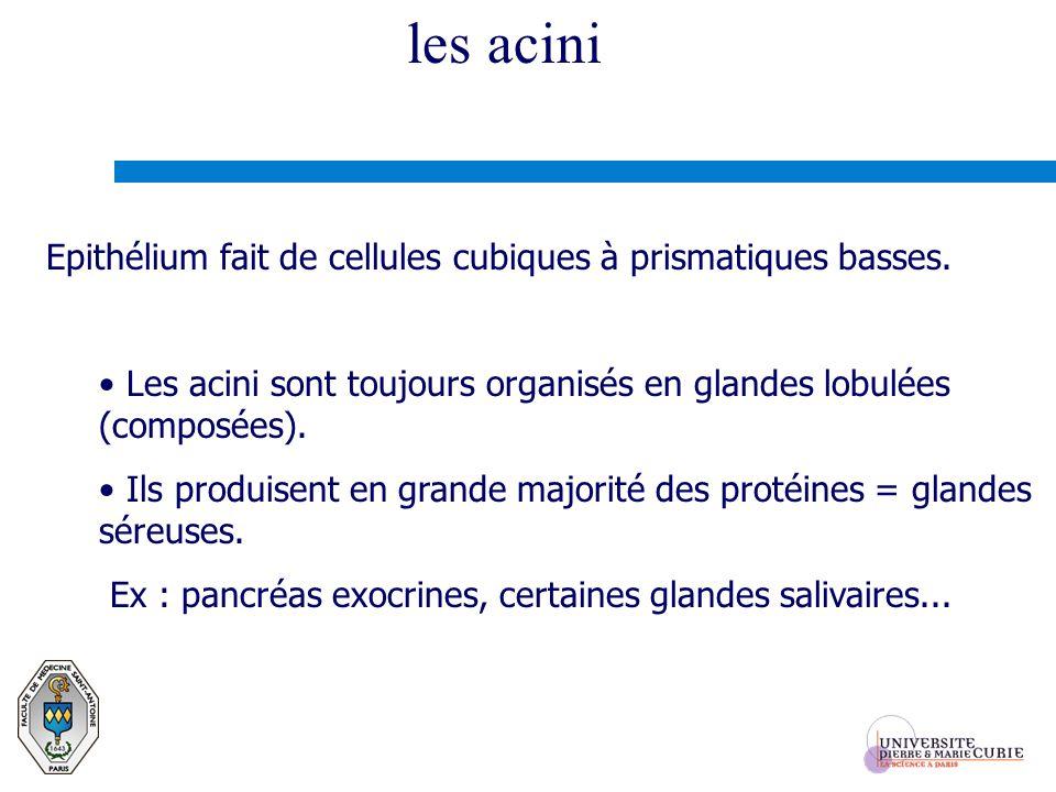 les acini Epithélium fait de cellules cubiques à prismatiques basses. Les acini sont toujours organisés en glandes lobulées (composées). Ils produisen