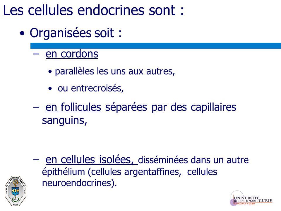 Les cellules endocrines sont : Organisées soit : – en cordons parallèles les uns aux autres, ou entrecroisés, – en follicules séparées par des capilla