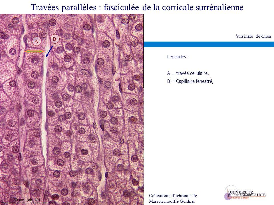 Travées parallèles : fasciculée de la corticale surrénalienne Coloration : Trichrome de Masson modifié Goldner A B Légendes : A = travée cellulaire, B