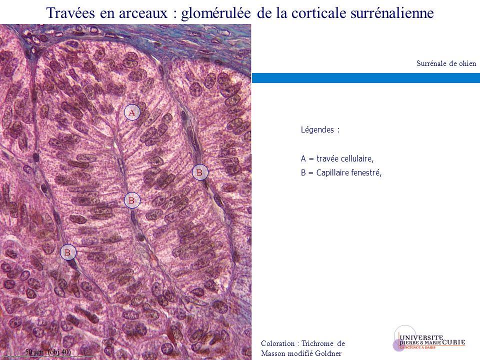 Travées en arceaux : glomérulée de la corticale surrénalienne Coloration : Trichrome de Masson modifié Goldner Légendes : A = travée cellulaire, B = C
